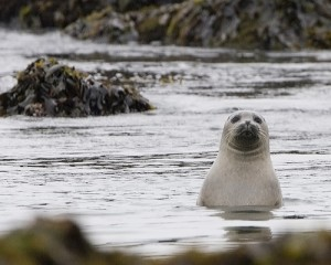 Seal: to club, or not to club? Photo: Mike Baird